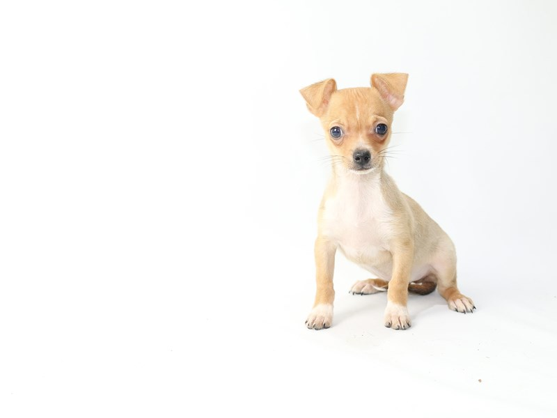 Chihuahua-Male-Fawn-2709933-My Next Puppy