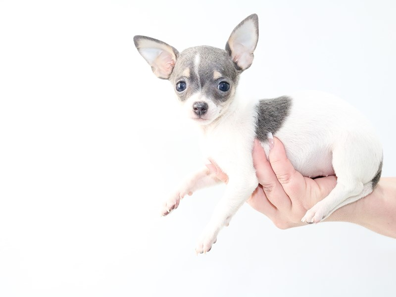 Chihuahua-Female-Blue/White-2704180-My Next Puppy