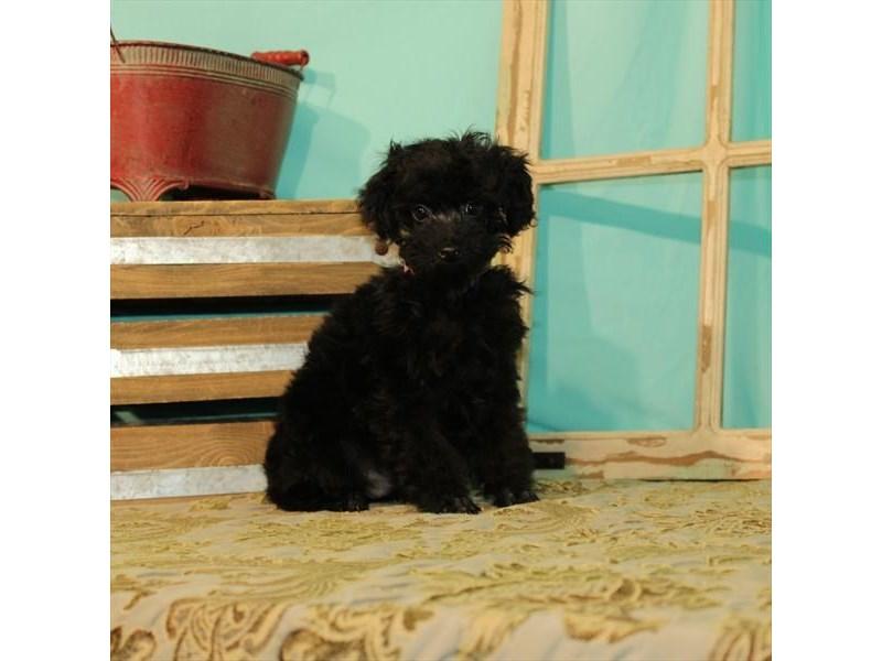 Miniature Poodle-Male-Black-2714707-My Next Puppy