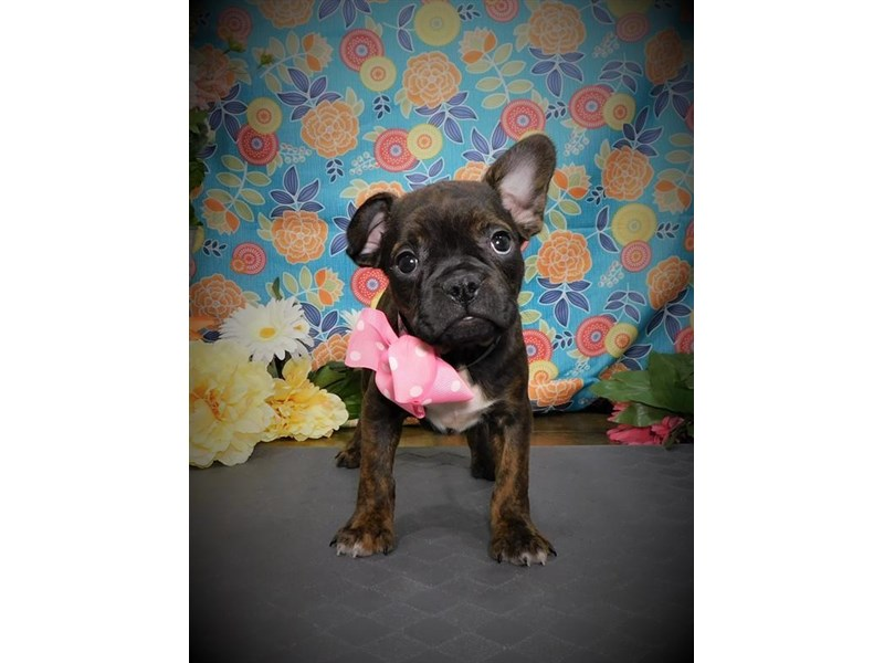 French Bulldog-Female-Brindle-2714709-My Next Puppy
