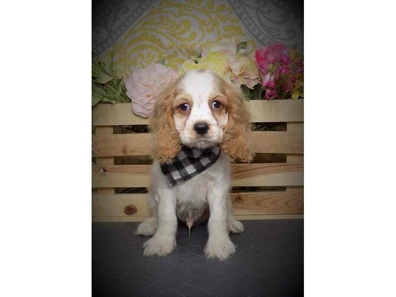 Cocker Spaniel-Male-Buff-2722449-My Next Puppy