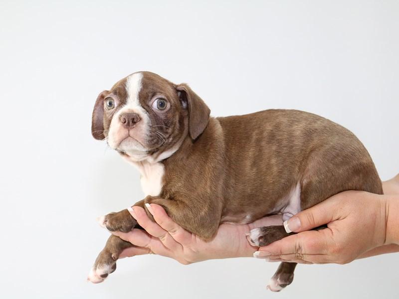 Boston Terrier – Eeyore