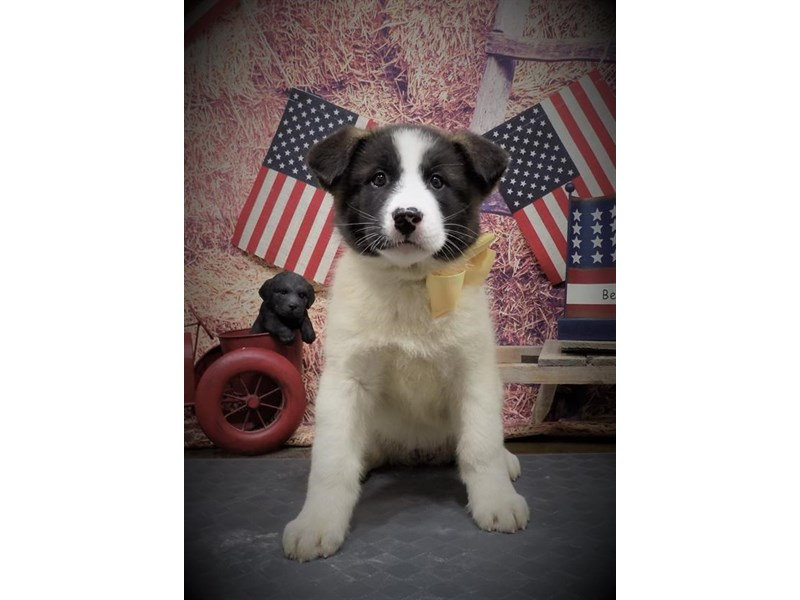 Akita-Female-Fawn-2736451-My Next Puppy