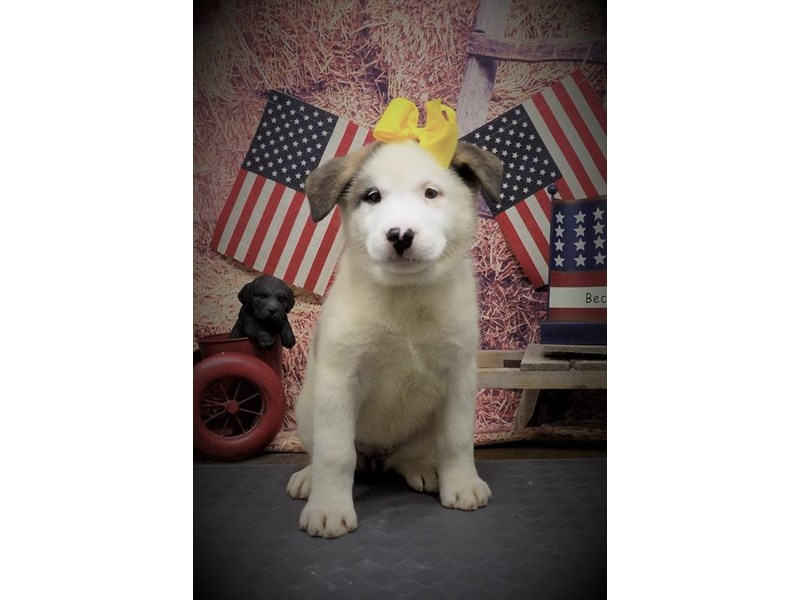 Akita-Female-Fawn-2736452-My Next Puppy
