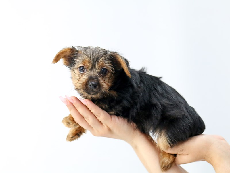 Yorkshire Terrier-Female-BLK TAN-2734260-My Next Puppy