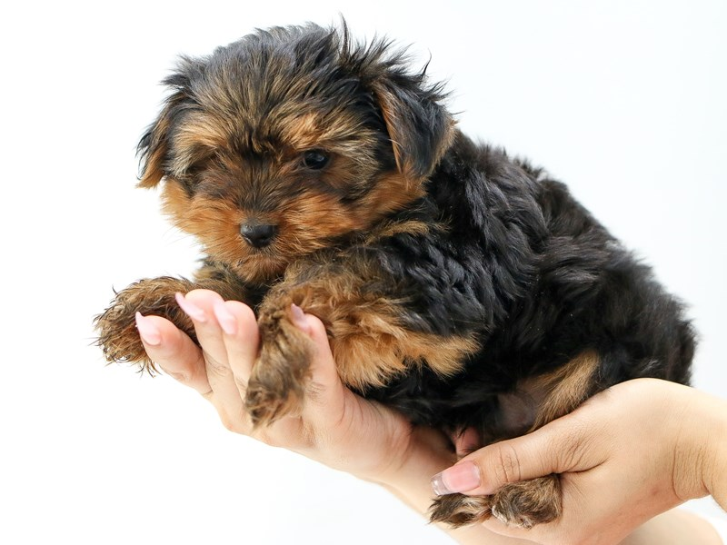 Yorkshire Terrier-Male-BLK TAN-2734114-My Next Puppy