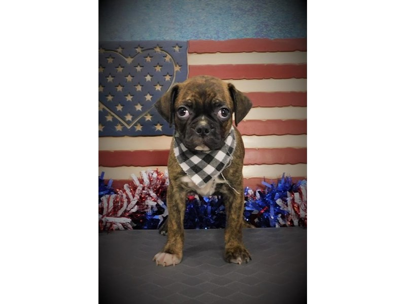 Bugg-Male-Brindle-2742758-My Next Puppy