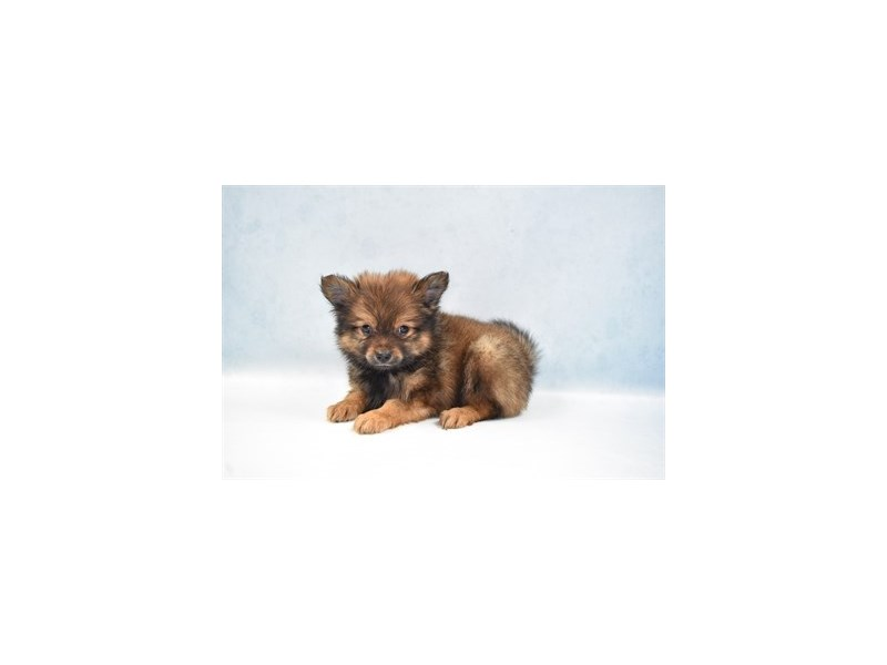 Pomeranian – Penn