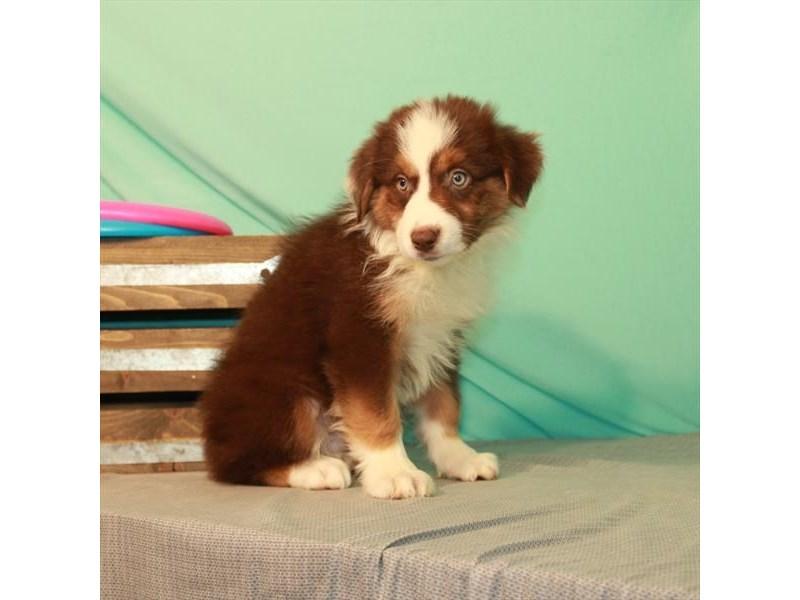 Australian Shepherd-Male-Chocolate-2750866-My Next Puppy