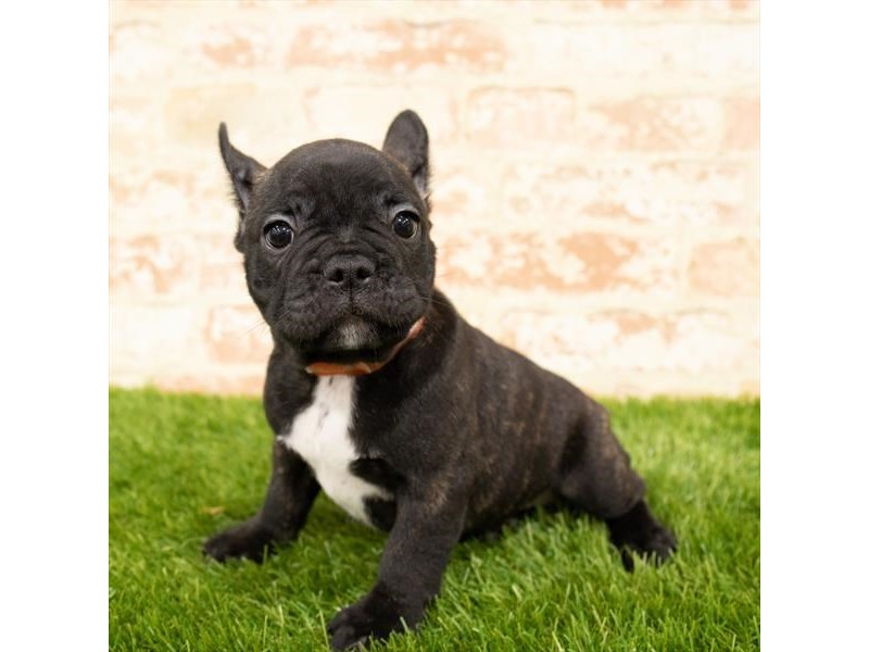 French Bulldog-Male-Brindle-2764500-My Next Puppy