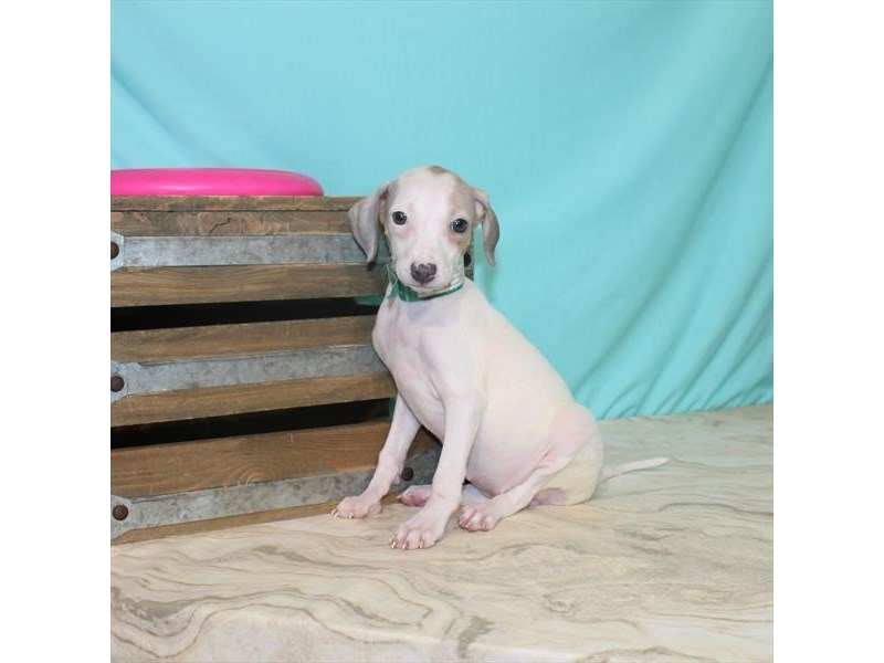 Italian Greyhound-Female-White-2764506-My Next Puppy