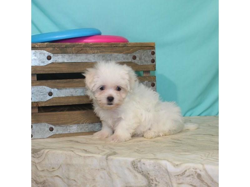 Maltese-Female-White-2764529-My Next Puppy