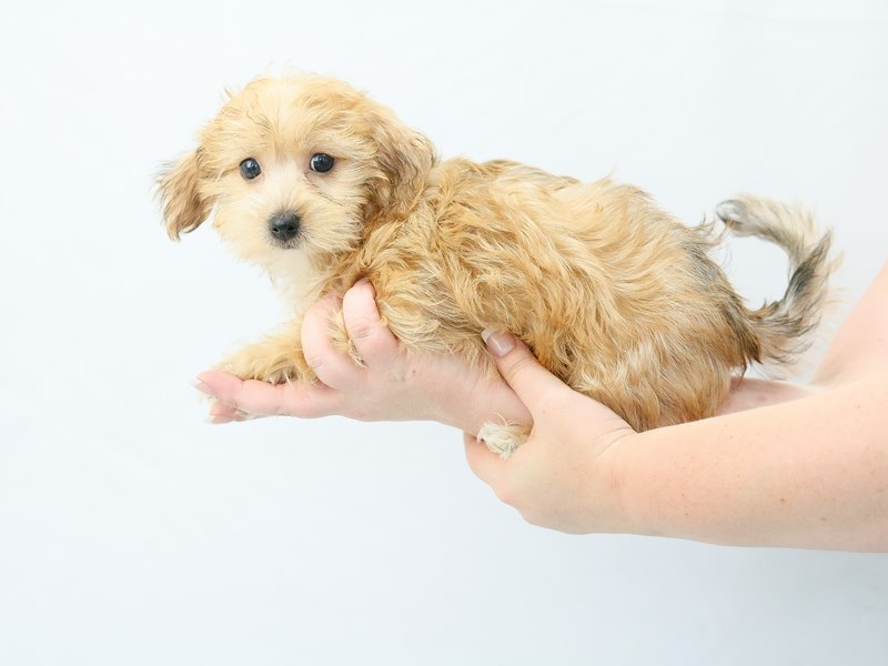 Morkie-Female-blonde-2761217-My Next Puppy