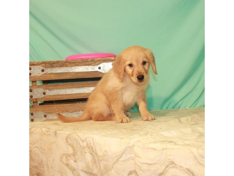 Golden Retriever-Female-Golden-2774031-My Next Puppy