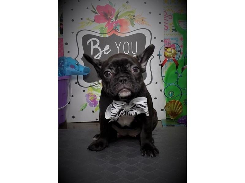 French Bulldog-Female-Black Brindle-2774037-My Next Puppy