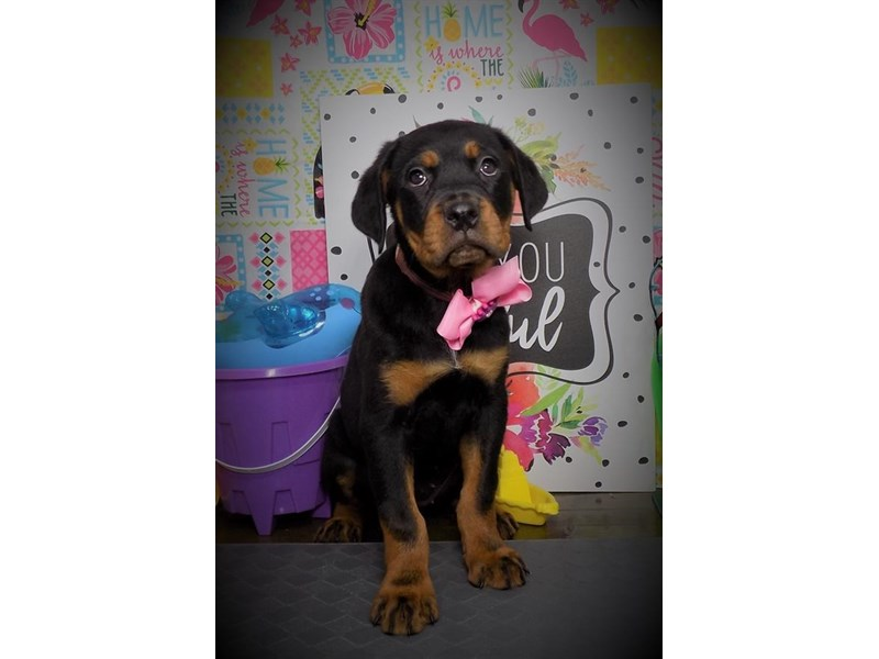 Rottweiler-Female-Black / Tan-2774041-My Next Puppy