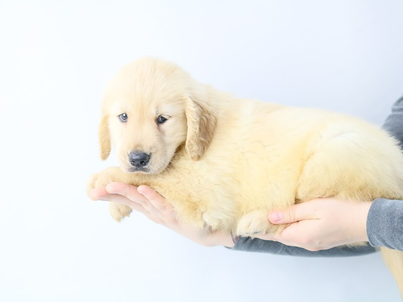 Golden Retriever-Female-Golden-2771807-My Next Puppy