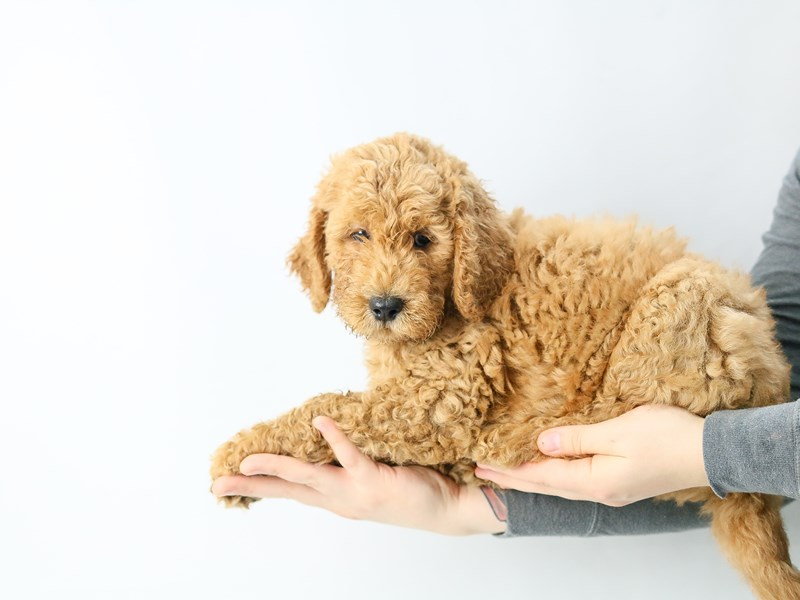 Goldendoodle-Male-Dark Red-2771723-My Next Puppy