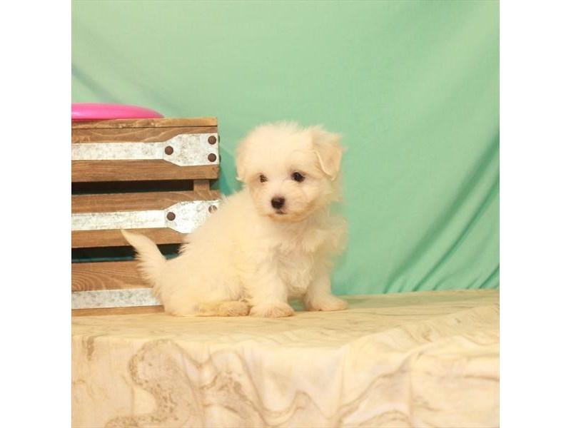 Maltese-Female-White-2779815-My Next Puppy