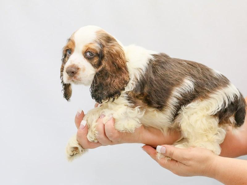 Cocker Spaniel-Male-choc white-2787139-My Next Puppy