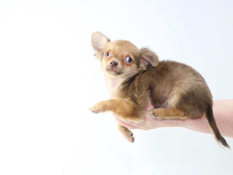 Teacup Chihuahua – Big Dipper