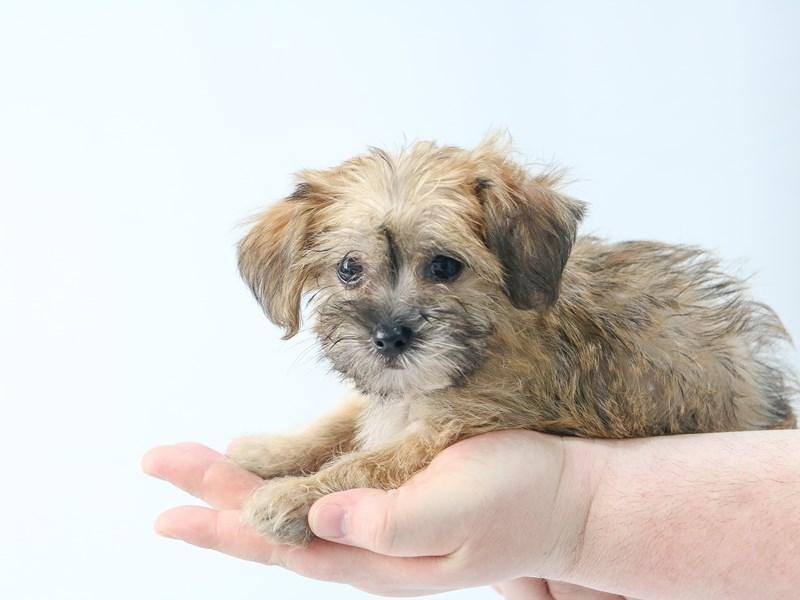Yorkichon-Male-BEIGE-2713330-My Next Puppy