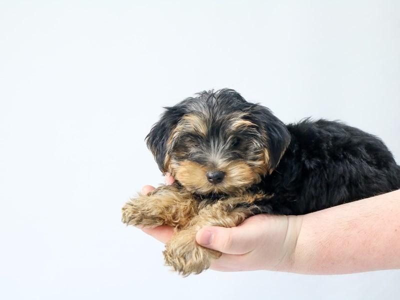 Yorkshire Terrier – Gnocchi