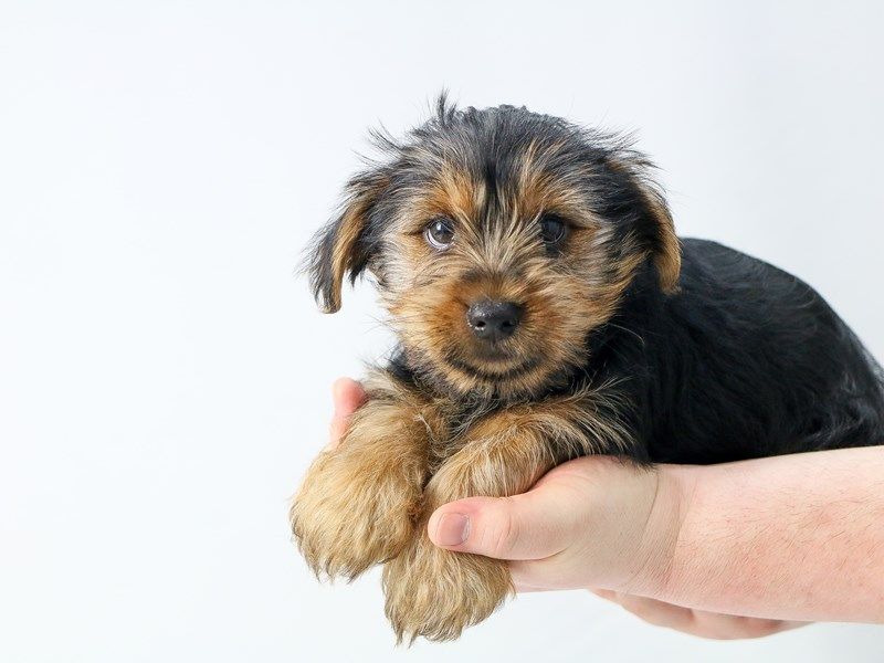 Yorkshire Terrier – Orzo