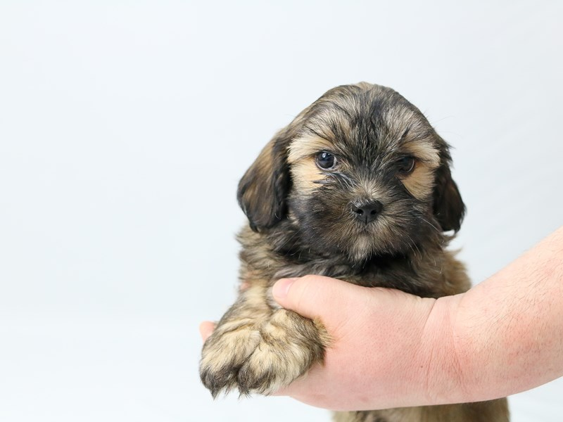 Yorkichon-Male-BIEGE-2713347-My Next Puppy