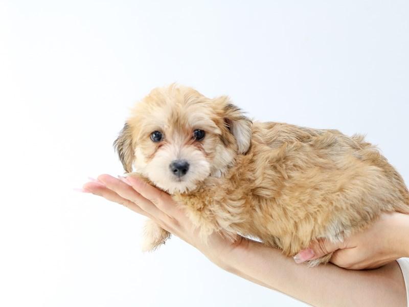 Yorkichon-Female-BEIGE-2734225-My Next Puppy