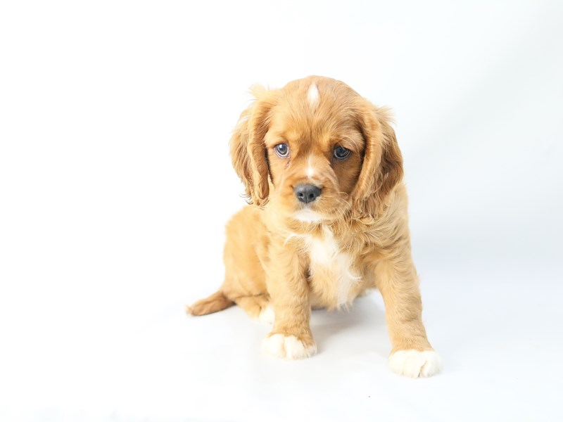 Cockalier-Male-Ruby-2742764-My Next Puppy