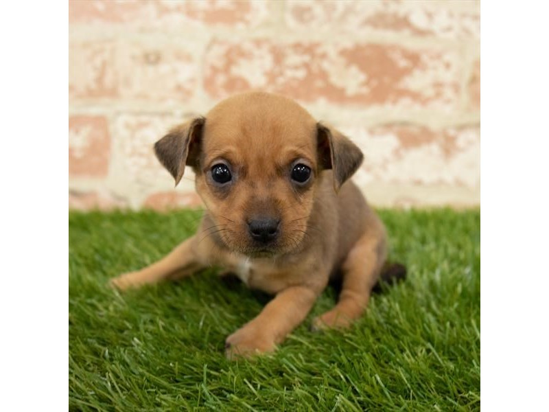 Chiweenie-Male-Red Sable-2759690-My Next Puppy