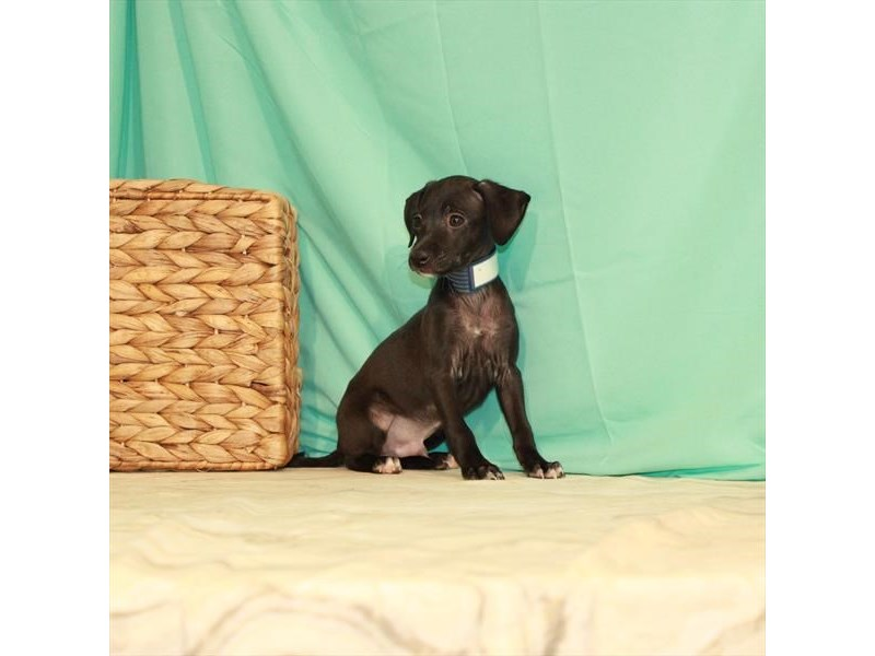 Italian Greyhound-Male-Black-2764510-My Next Puppy