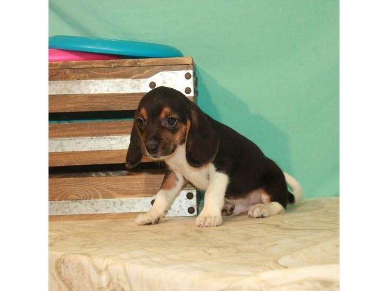 Beagle-Male-Black White / Tan-2774034-My Next Puppy