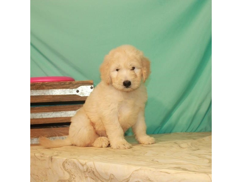 F1 Standard Goldendoodle-Male-Light Golden-2779788-My Next Puppy