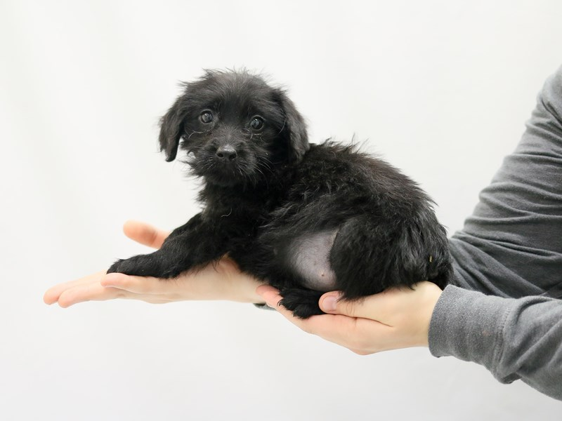 Miniature Labradoodle-Female-Black-2779820-My Next Puppy