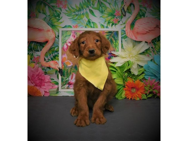 Goldendoodle-Male-Red-2787754-My Next Puppy