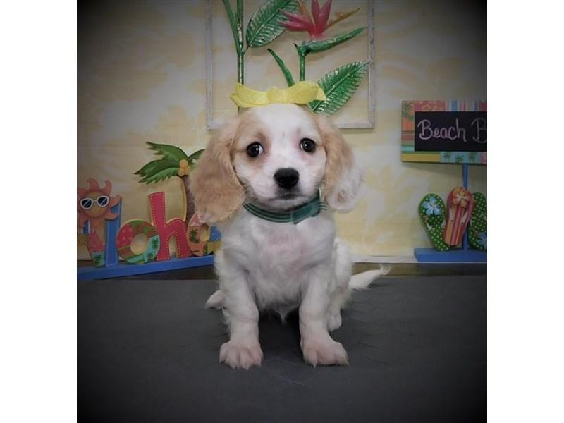 Cavachon-Female-Blenheim-2787755-My Next Puppy