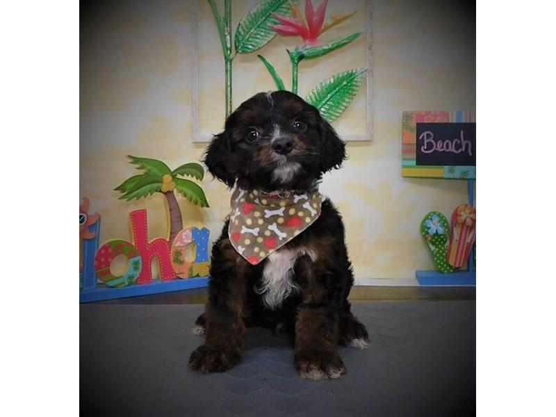 Cavalier/Shorkie-Male-Black / Tan-2787765-My Next Puppy