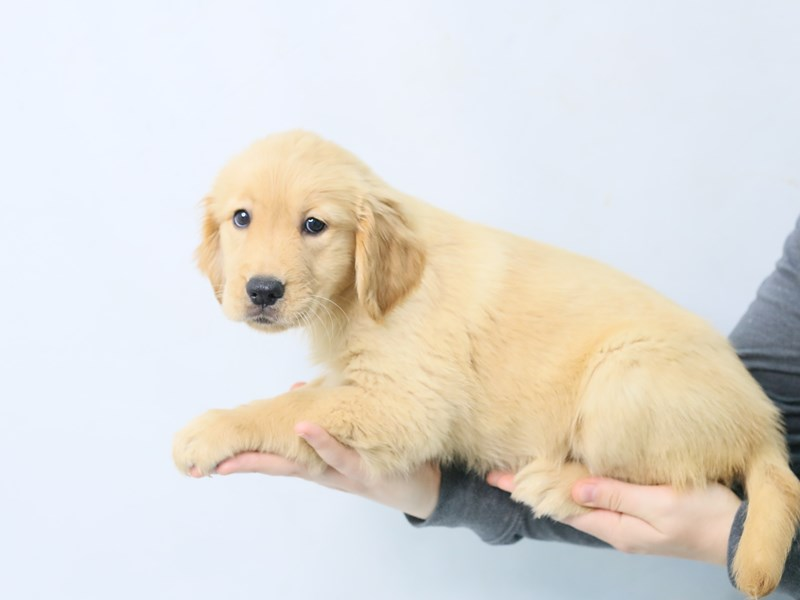 Golden Retriever-Female-Golden-2787088-My Next Puppy