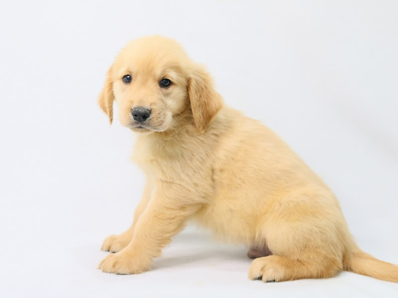 Golden Retriever-Male-Golden-2787086-My Next Puppy