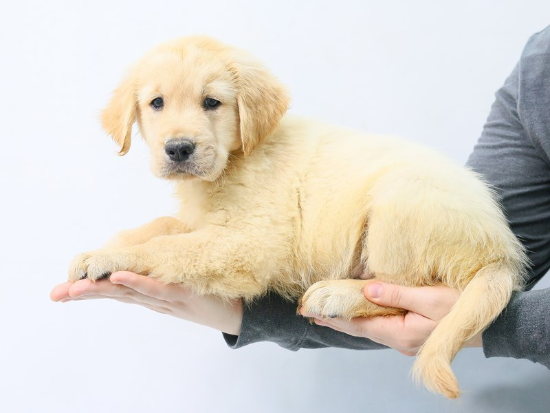 Golden Retriever-Male-Golden-2787085-My Next Puppy