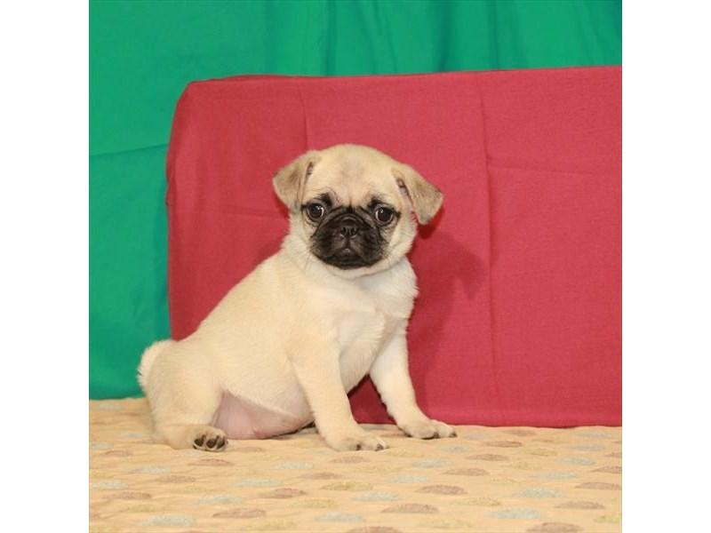 Pug – Beyonce