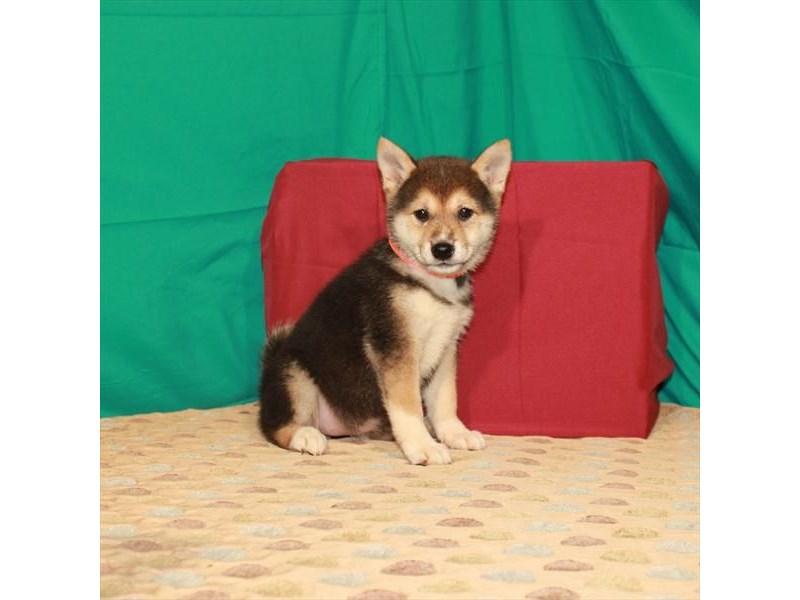 Shiba Inu-Female-Black / Tan-2795313-My Next Puppy