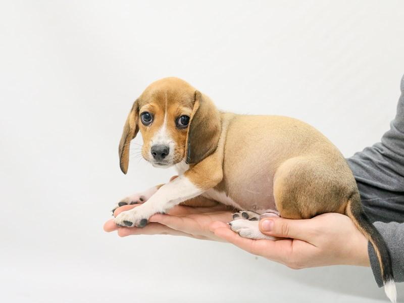 Beagle-Male-Tan-2800684-My Next Puppy