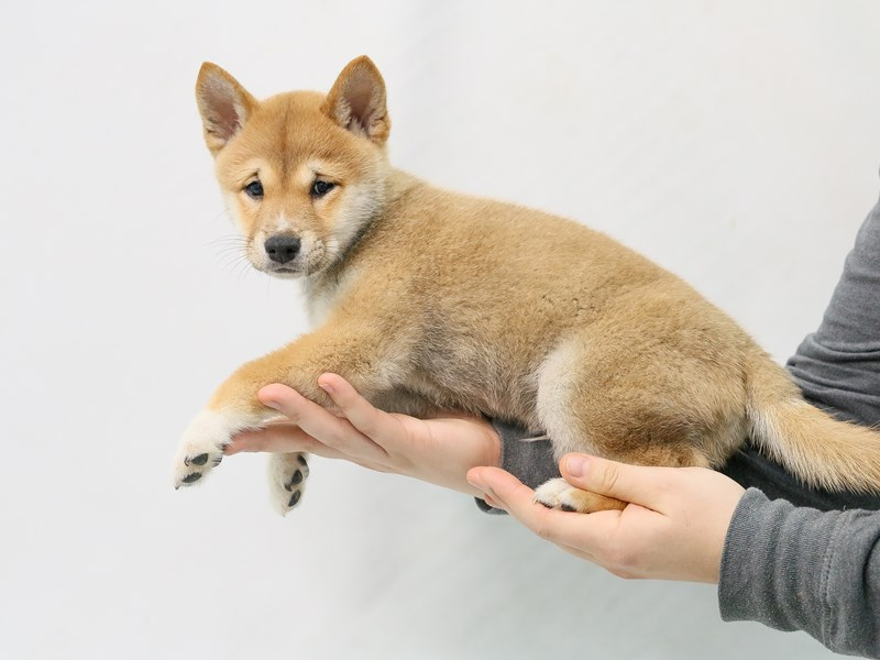 Shiba Inu-Male-Red Sesame-2800685-My Next Puppy