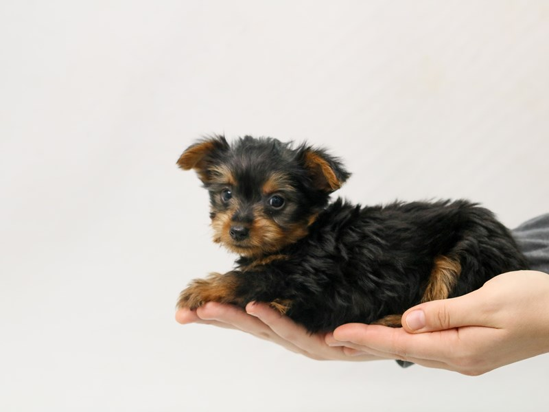 Silky Terrier-Male-Black / Tan-2800686-My Next Puppy