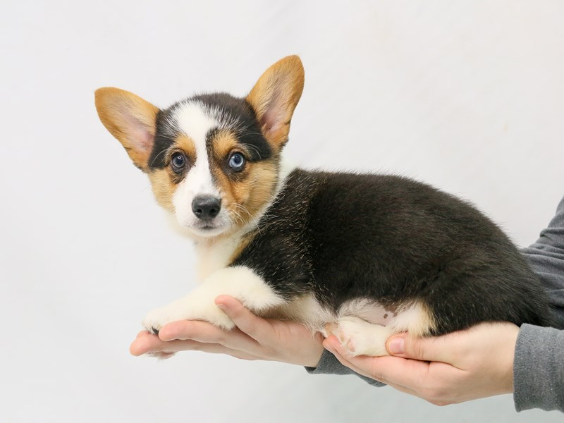Pembroke Welsh Corgi-Male-Black White / Tan-2800688-My Next Puppy