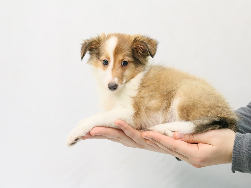 Shetland Sheepdog-Female-Sable / White-2800690-My Next Puppy