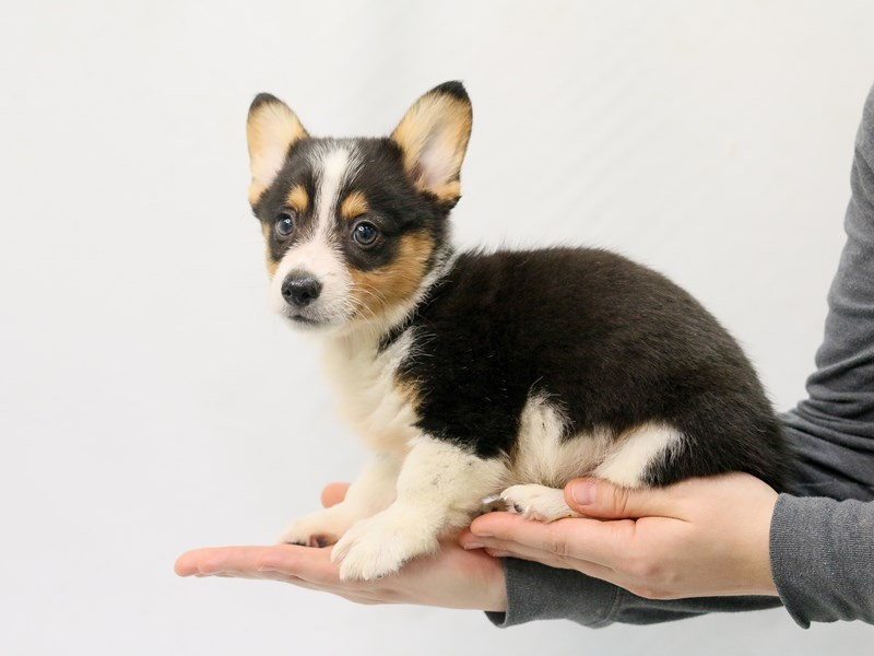 Pembroke Welsh Corgi-Male-Black White / Tan-2801293-My Next Puppy